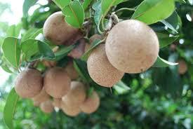 9 sapodilla fruit for health benefits
