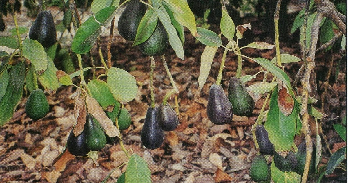 Xtremehorticulture Of The Desert Avocado Not A Good