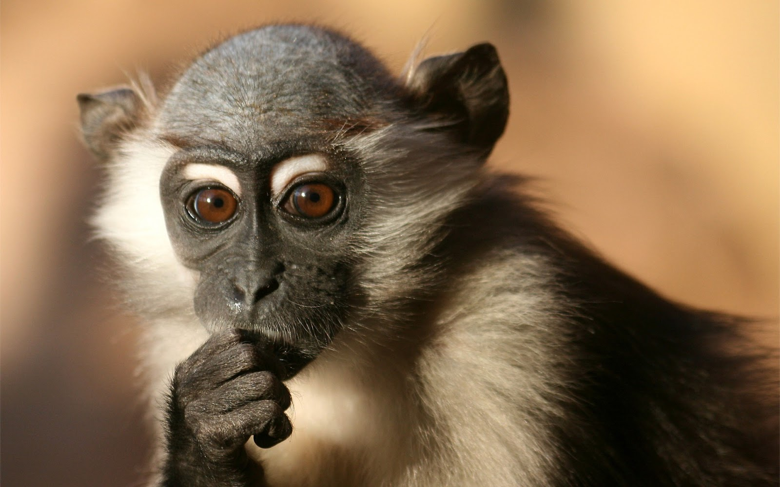 Beautiful Wallpapers: monkey hd wallpapers