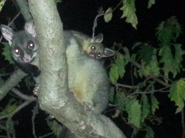 Urban Possums