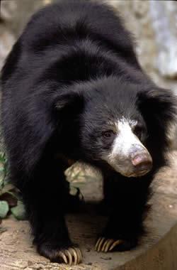 Sloth Bear  Animal Wildlife