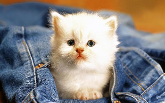 Wit katje op een bllauwe spijkerbroek
