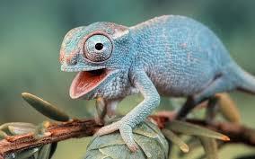La verdad sobre el cambio de color del camaleón es asombrosa