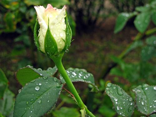バラが咲きかけている