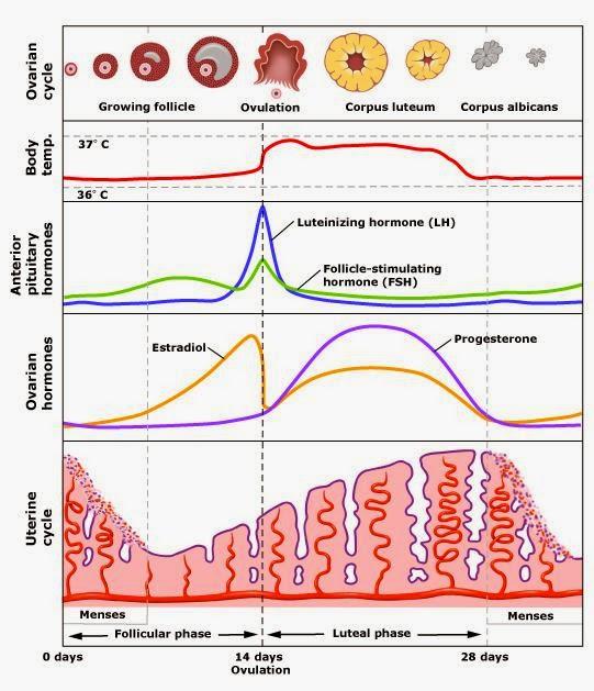 月經期不準│計算排卵期提高受孕機率 @ 黃體素女性專家-書報達人 :: 痞客邦 PIXNET
