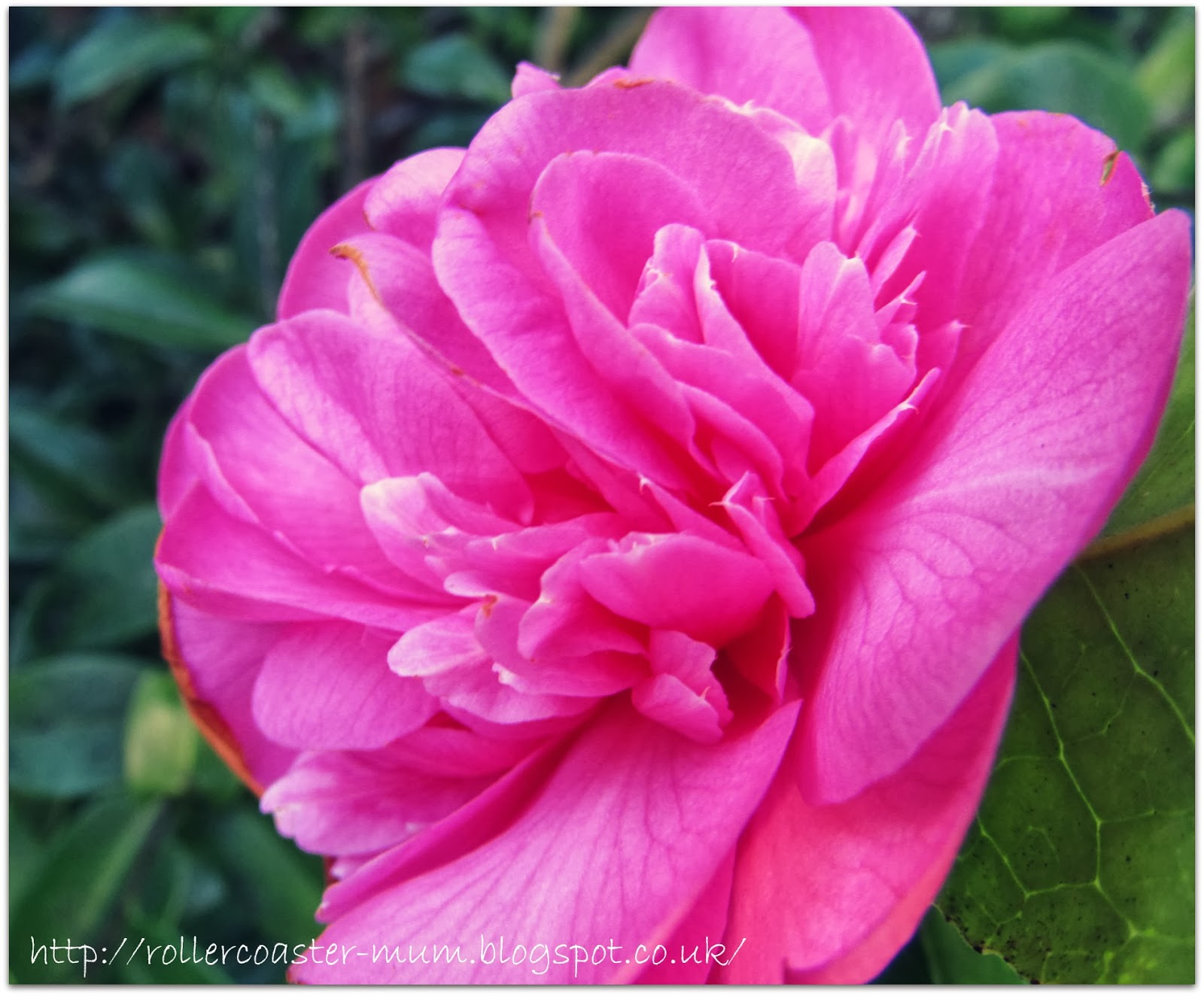 candy pink Camellia flower
