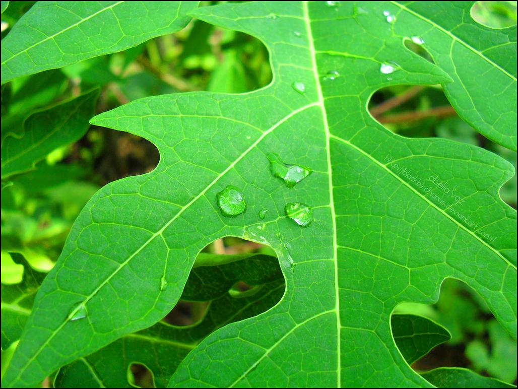 Mungkin sudah lazim dipergunakan sebagai ramuan herbal Manfaat Daun Pepaya Untuk Kesehatan dan Kecantikan