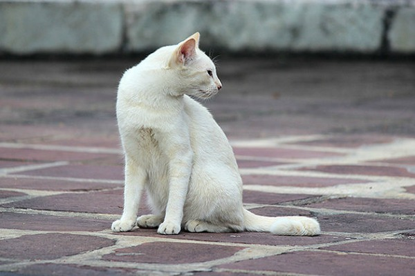 white cat bangkok