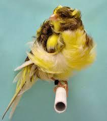 Burung Kenari Parisia Frilled - Solusi Penangkaran Burung Kenari - Mengenal Burung Kenari Parisia Frilled - Kenari Postur
