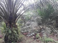 Peremajaan Kelapa Sawit Ditetapkan 185.000 Hektar, Apa Saja Syaratnya ?
