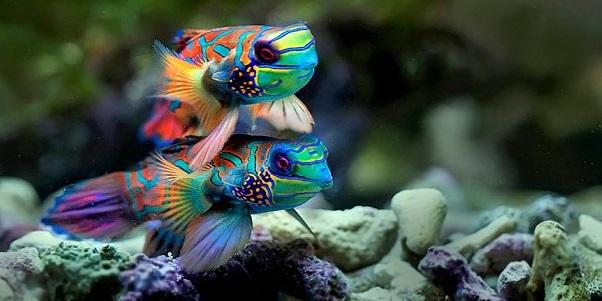 Gambar Ikan Mandarin - Budidaya Ikan