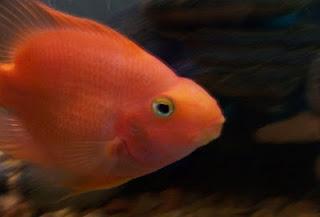 Blood parrot cichlid - بلود باروت سيكليد