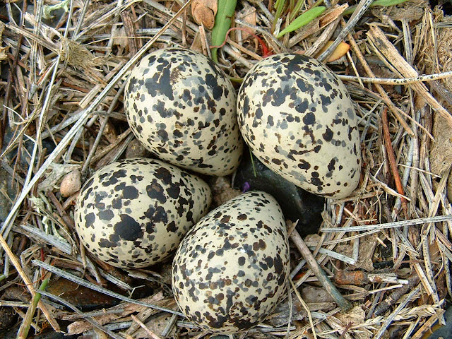 Gorund Bird's eggs