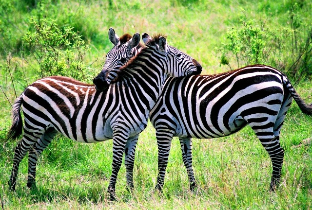 Zebra | The Biggest Animals Kingdom