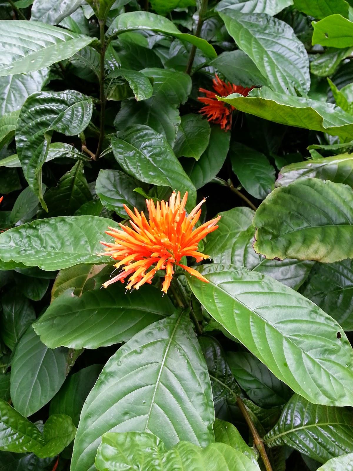 welcome to:: Plants We Love- Double Orange Shrimp Plant