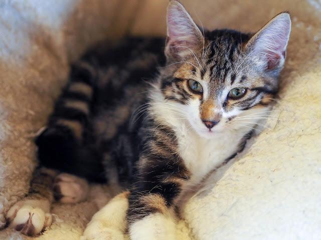 Kitten Buzz 3,5 maanden