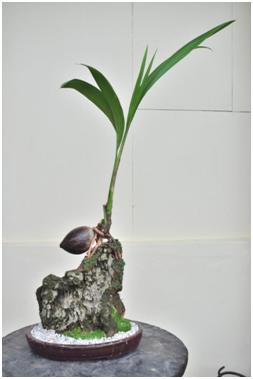 Jenis Jenis Tanaman Yang Dapat Dijadikan Bonsai Centralbonsai