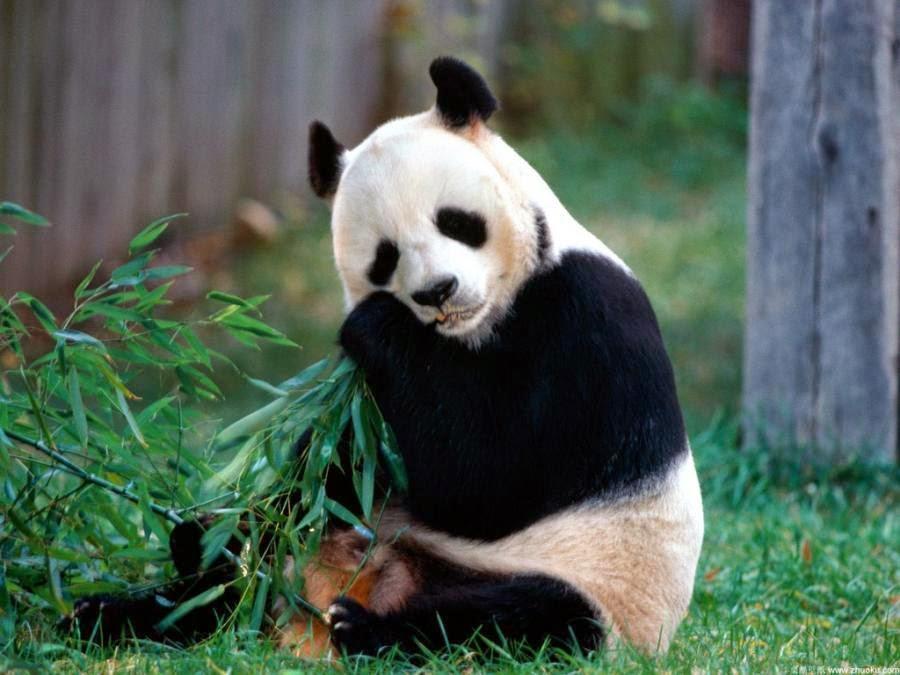 imagenes de osos panda comiendo bambu