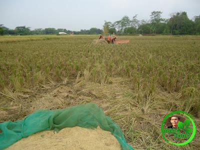 FOTO : Gabah sudah dirontokan menggunakan Power thresher ( mesin perontok padi )