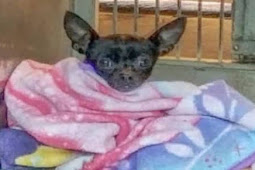 Will it hurt to go to heaven? Senior Chihuahua sitting in the back room smelling death