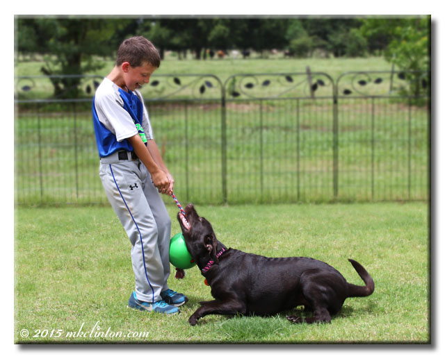 A boy and Labrador puppy playing tug-o-war