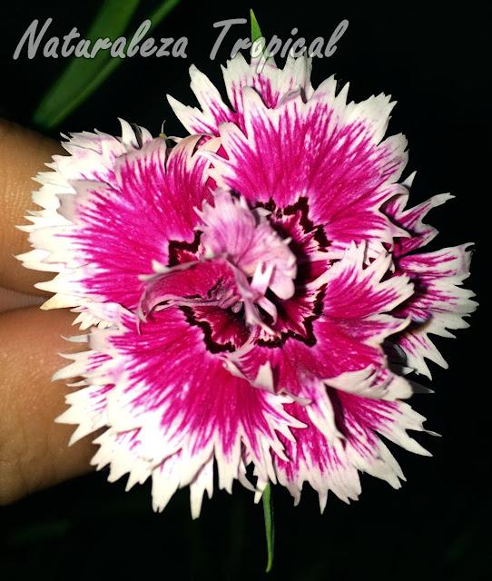 Otra variedad de la flor de la Clavelina o Clavel Chino, Dianthus chinensis
