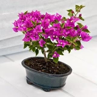 Cara Mudah Membuat Bonsai Bunga Kertas Atau Bugenvil