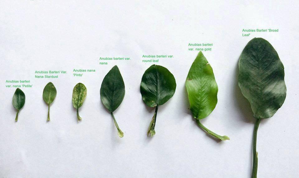 Anubias barteri nana petitie anubias barteri nana stadust anubias barteri nana pinto anubias barteri nana anubias barteri round leaf anubias barteri nana gold anubias barteri broad leaf