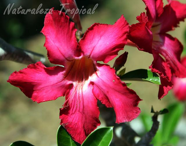 Flor de la Rosa del Desierto, Adenium obesum