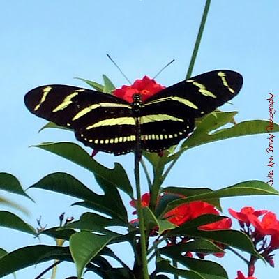 Zebra Longwing Butterfly - Discovery Gardens