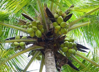 contoh tanaman akar serabut