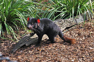 What is Tasmanian Devil? Facts and Quick Info 11