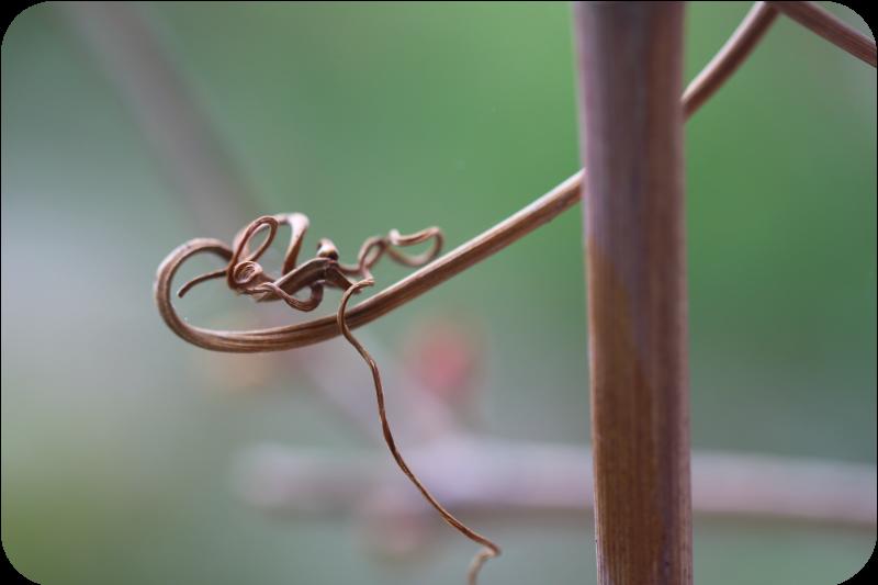 Luftwurzel der Weinrebe | Arthurs Tochter kocht von Astrid Paul