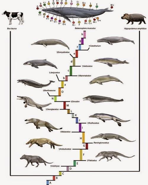 ewolucja waleni