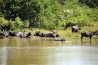 Wasserbüffel - water buffalo