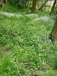 foraging, medicinal herbs, life on pig row, fleetneedles forage