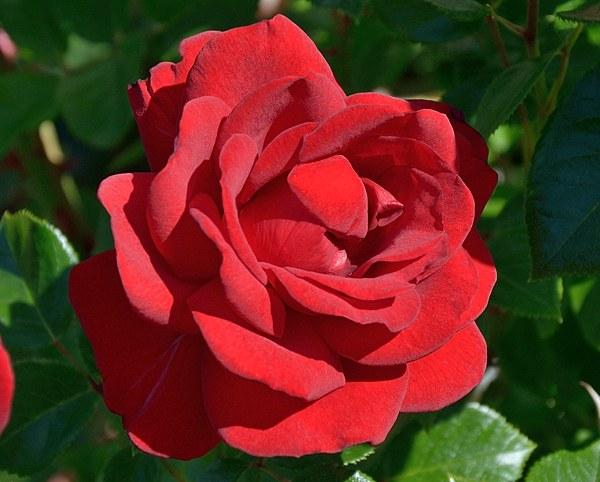 Jugendliebe сорт розы фото