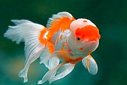 Makanan Terbaik Untuk Ikan Mas Koki