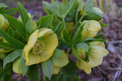 Helleborus x hybridus 'PS Sally'