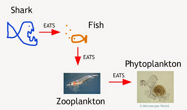 Ocean life cycle including photoplankton.