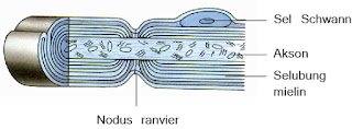 Gambar nodus ranvier