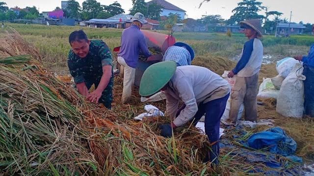 Obati Keresahan Petani, Babinsa Turun Langsung Membantu Petani Memanen Hasil Padinya
