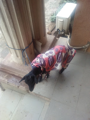 Goat Dressed In Matching Ankara Outfit At An Event