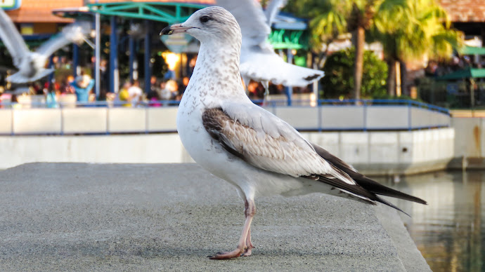 Wallpaper: Seagull Portrait