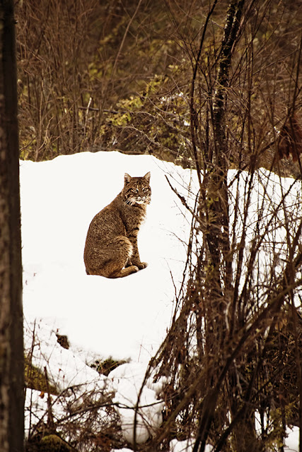 bobcat, pender harbour, sunshine coast, british columbia