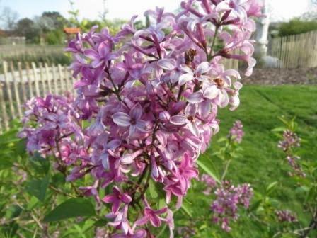 Flieder - ungiftige Pflanzen