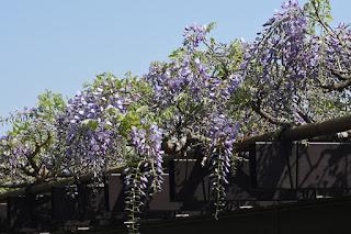 藤の花がだいぶ咲いてきました。4/20