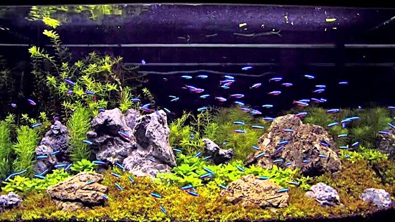 Tips Memelihara Ikan Hias Air Tawar Di Aquarium Kaskus