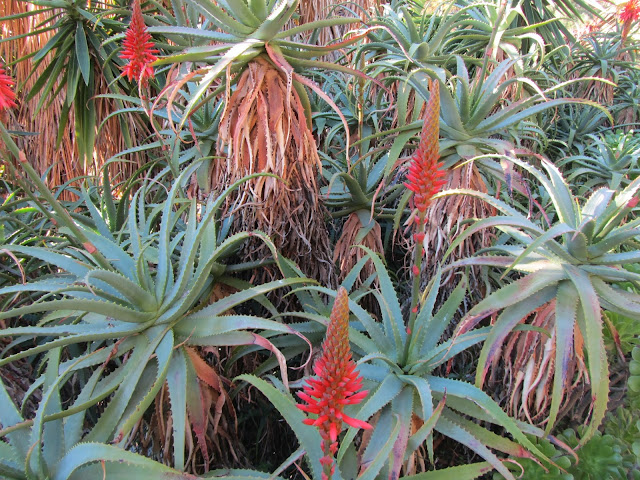 Aloe arborescens in Fiore