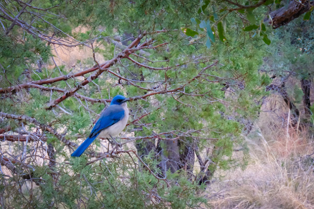 Mexican Jay in Big Bend
